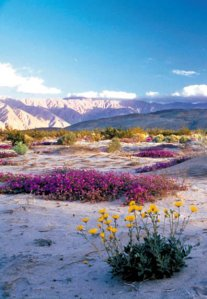 lavender-blooming-in-the-desert